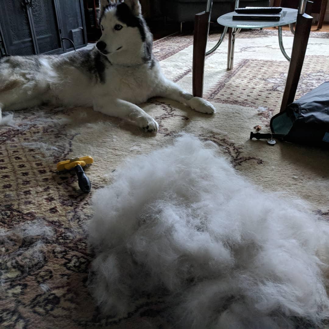 I think he needed that… #husky #huskylife #loki