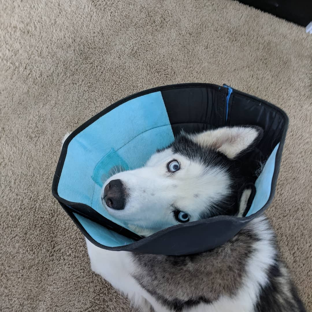 "The husky says… Something about ""Damned cone…"" #husky #loki #citylife #stlouis"