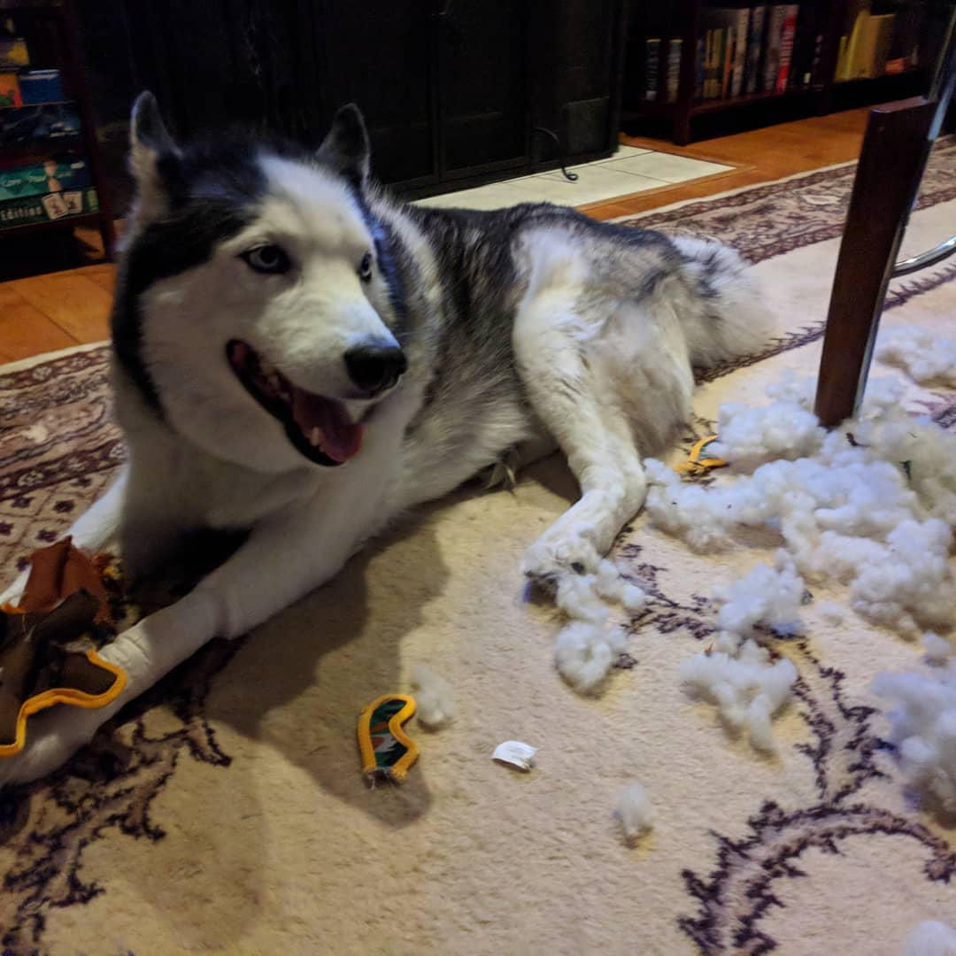 "This is what happens when you give a #siberianhusky a ""chew-proof toy"". Oh well. The face says it all #citylife #stlouis #"