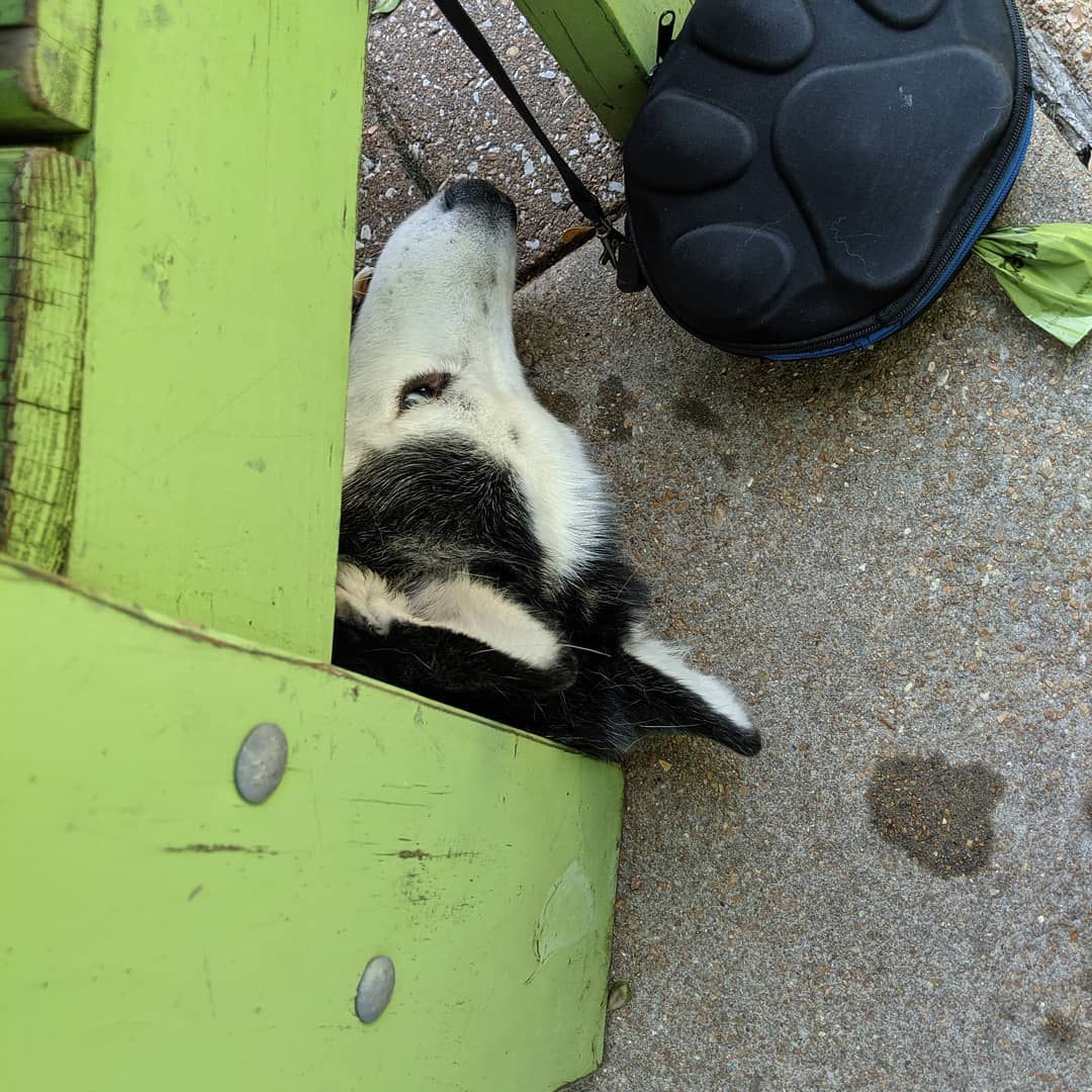 Loki still isn't the greatest at playing hide and seek… #citylife #stlouis #siberianhusky