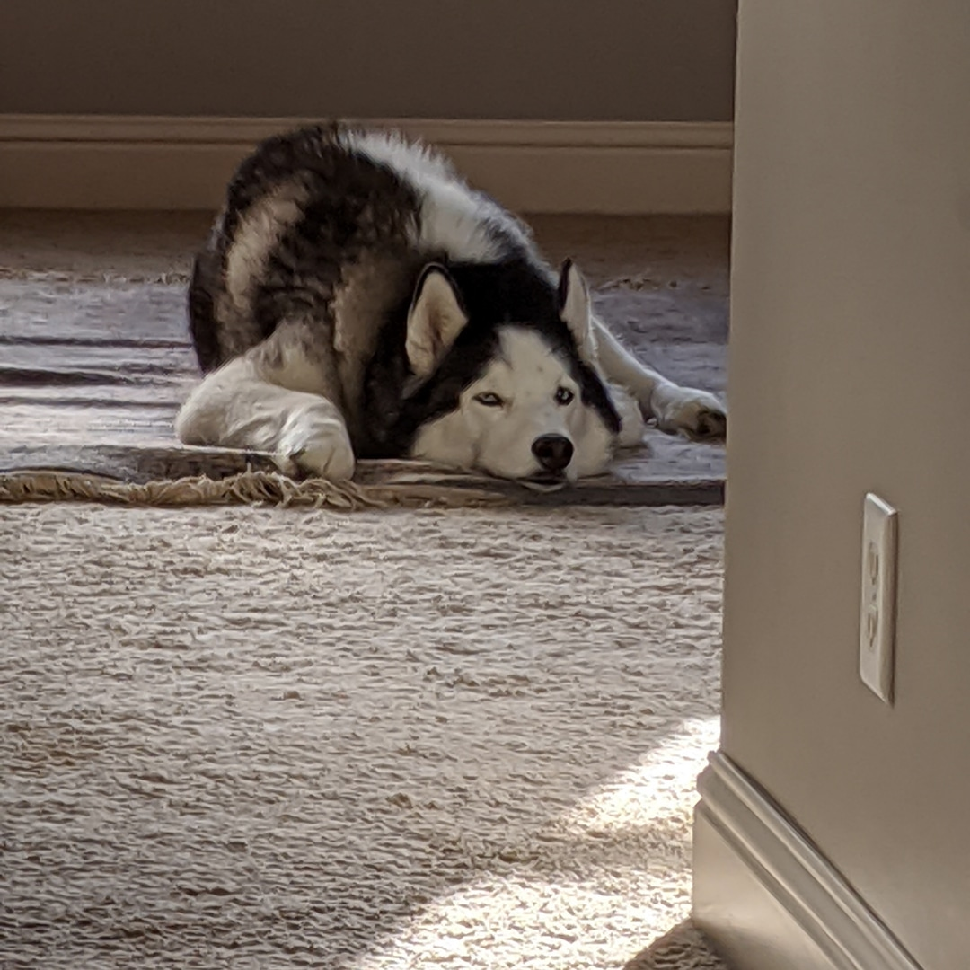 If this is the definition of a Dog's life, it doesn't look so bad to me #loki #siberianhusky #citylife