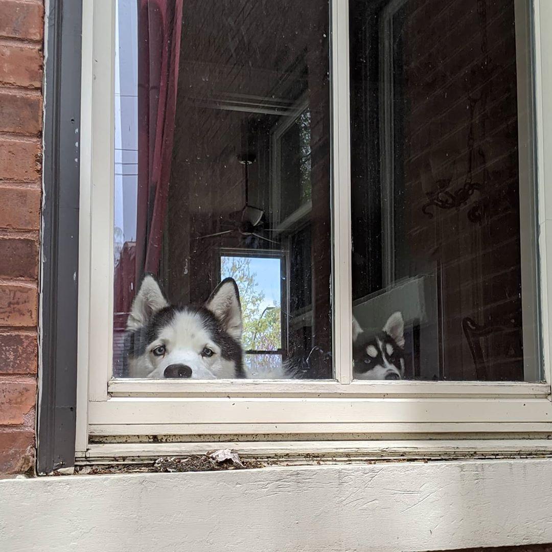 Neighbourhood watch part deux #stlloki #stlnanuq #huskiesofinstagram