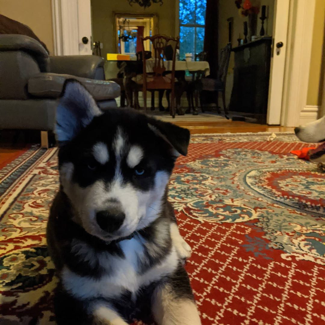 Omg… I can't stop laughing at the one ear up… He's so cute!!! #nanuq #huskiesofinstagram
