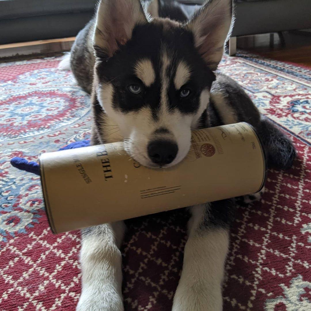 Impeccable taste, my pup… #stlnanuq #siberianhusky #huskiesofinstagram