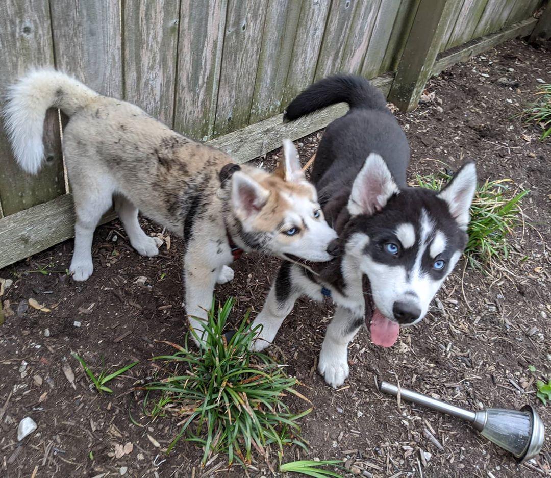 Siblings… #stlnanuq #stlhuskymishka #huskiesofinstagram