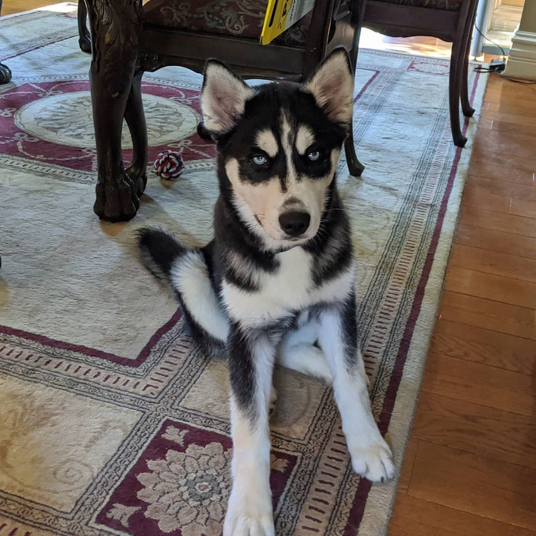 This is the face he gives me when he decides I'm taking too long to feed him… #stlnanuq #siberianhusky #huskiesofinstagram