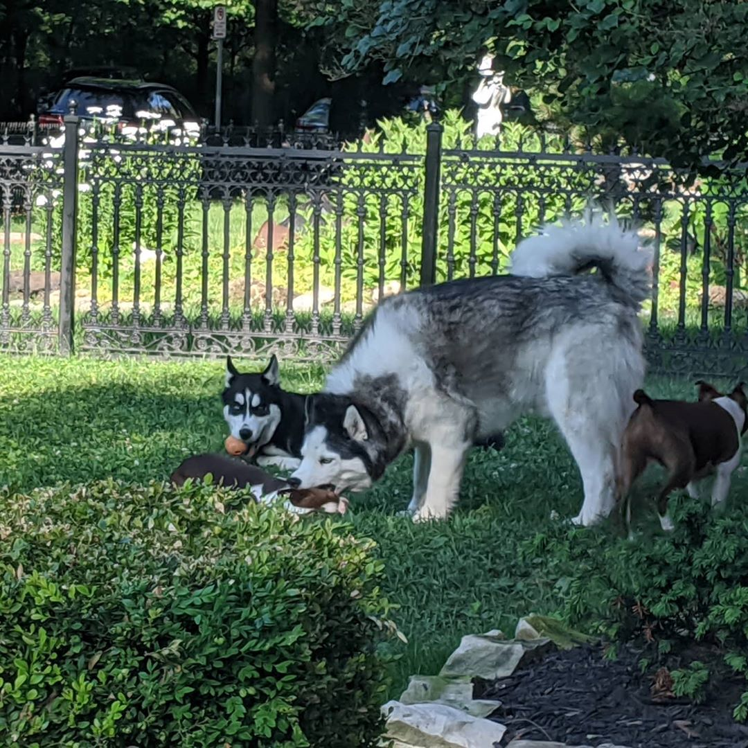 Current entertainment with the neighbours Boston Terriers. #stlnanuq #stlloki #siberianhusky #huskiesofinstagram