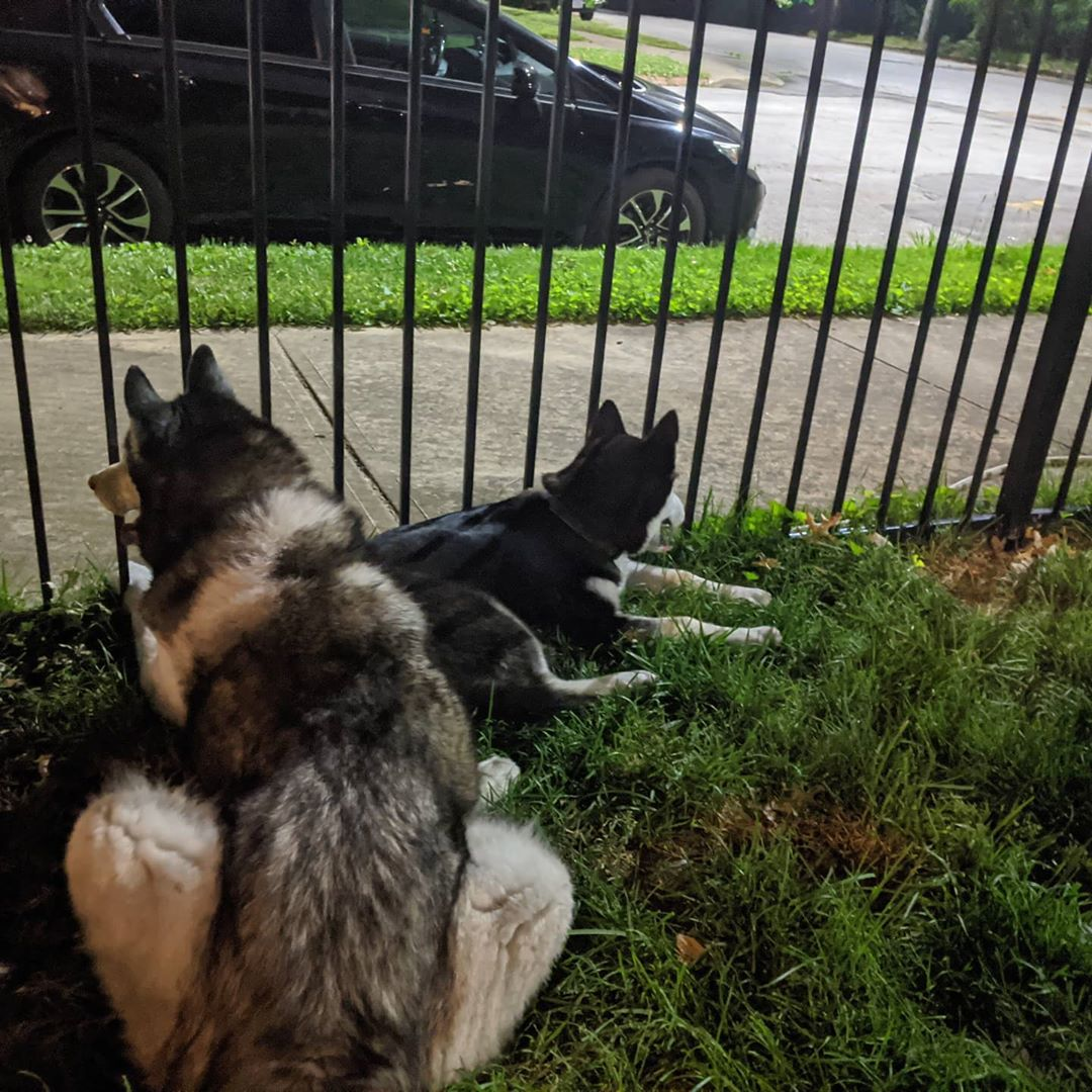Sometimes it's all about taking a moment and will watching the world go by #stlnanuq #stlloki #siberianhusky #huskiesofinstagram