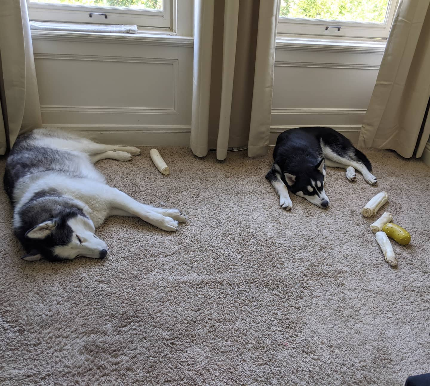 Peace and quiet... Gotta love the fact that Nanuq has hoarded the rawhides and toys though... #stlnanuq #stlloki #huskiesofinstagram #siberianhusky