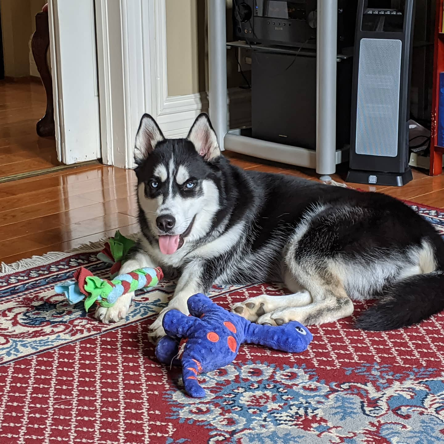 My little Smaug with his toys over here... #stlnanuq #huskiesofinstagram #siberianhusky