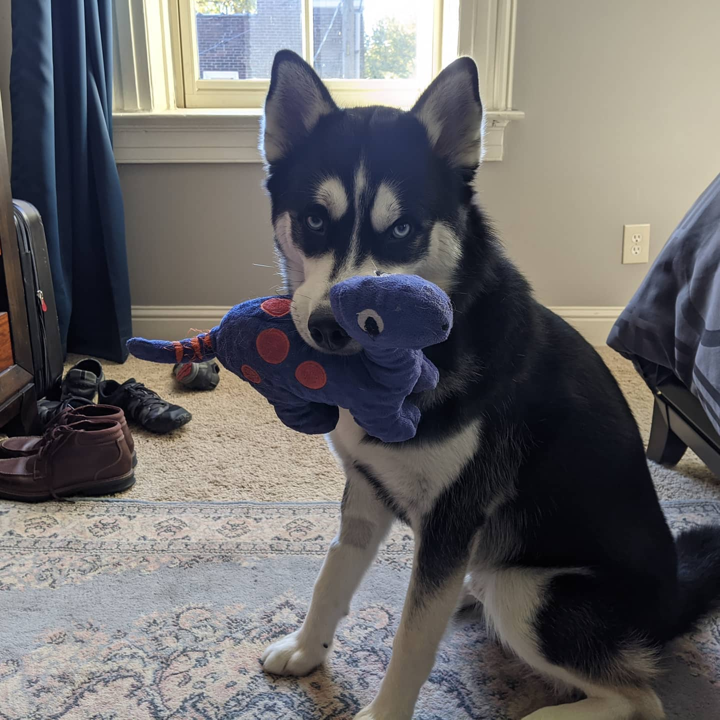 He has had this dino since we got him and his sister back in April. He doesn't appreciate it when others mess with it #stlnanuq #siberianhusky #huskiesofinstagram