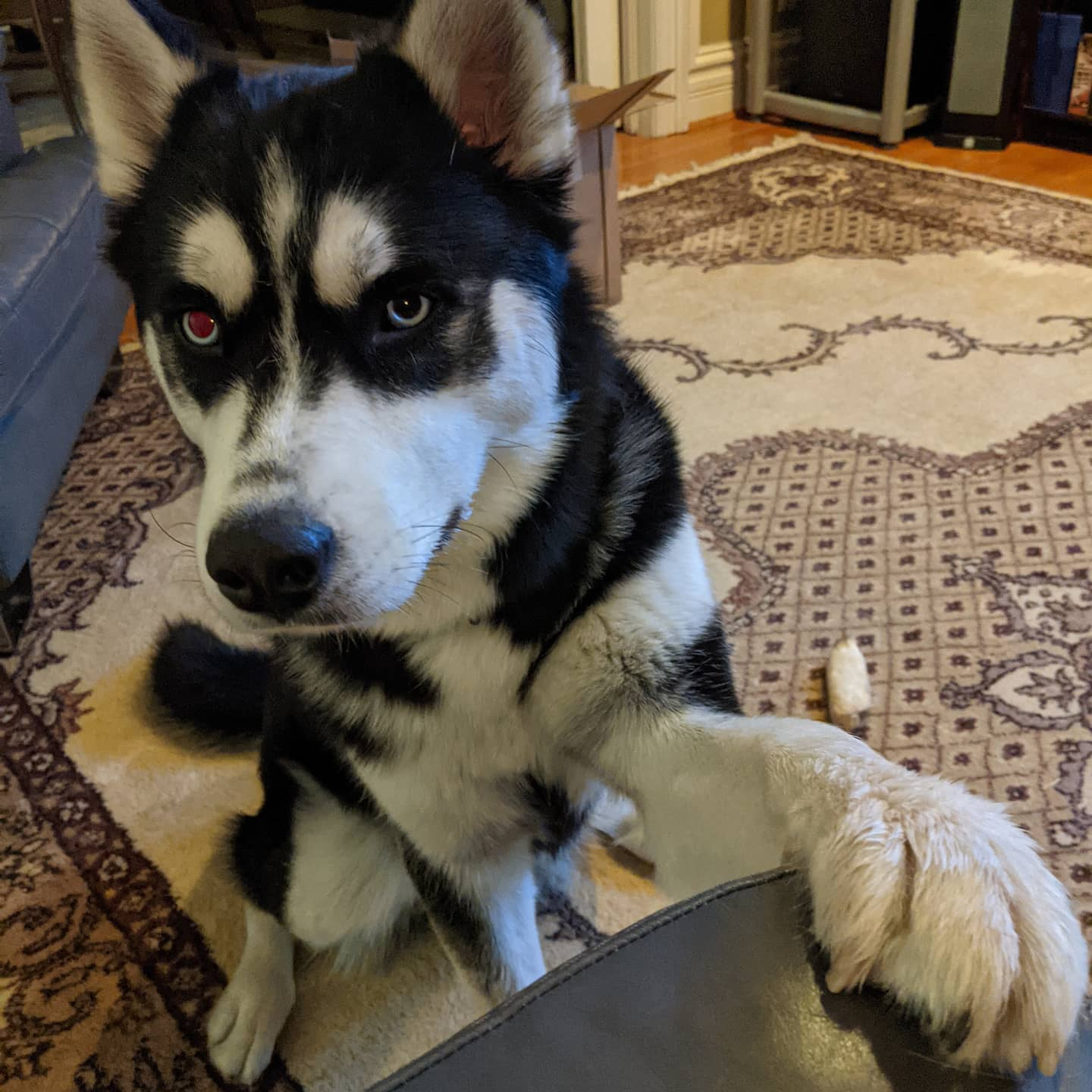"""Excuse me sir, may I talk to you about the gospel of """"Play""""? #stlnanuq #huskiesofinstagram #siberianhusky"""