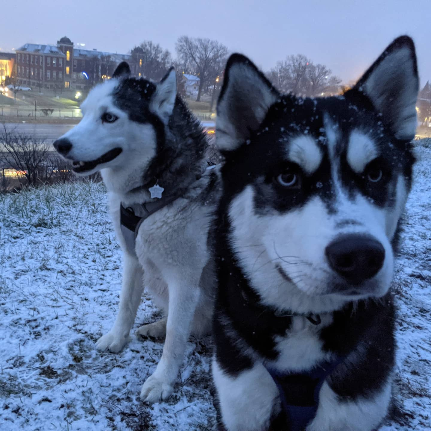 I don't know why, but I am totally in love with this picture of the boys... #stlnanuq #stlloki #siberianhusky #huskiesofinstagram