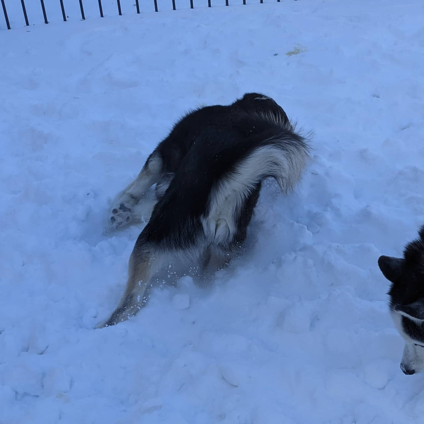 And here is Nanuq diving headfirst into the snow #huskiesofinstagram #siberianhusky #stlnanuq