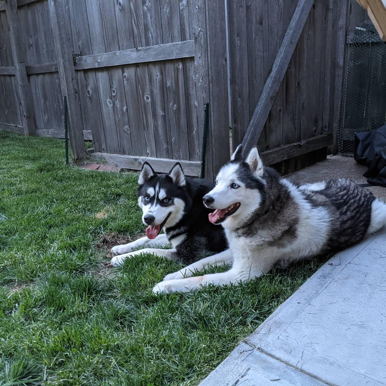 My boys #stlnanuq #stlloki #huskiesofinstagram #siberianhusky