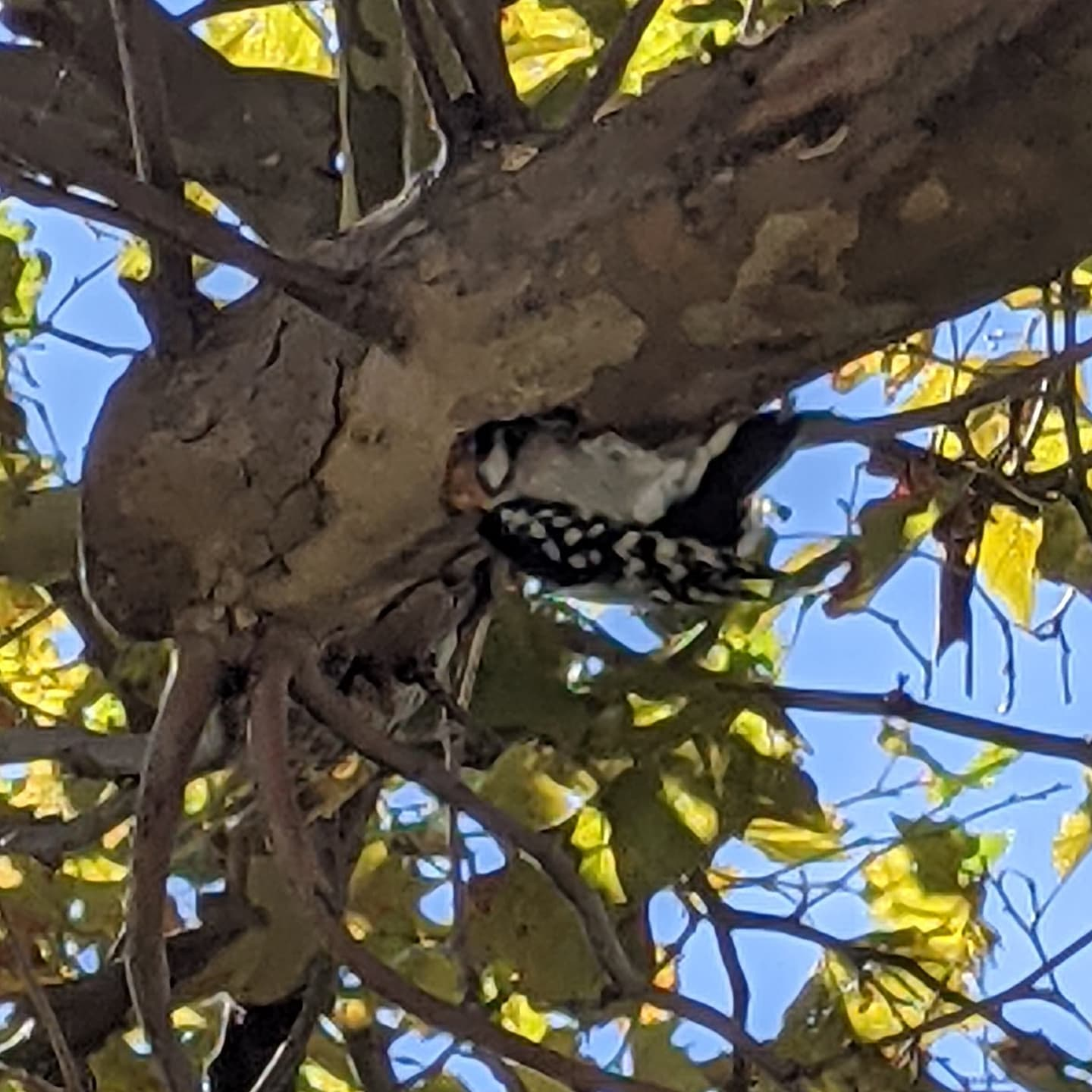 Walking around Sandusky Ohio, heard a knocking nearby. Spotted this little guy burrowing into the underside of a tree branch and couldn't resist taking a quick pic.